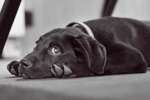 Hopkin the Labrador